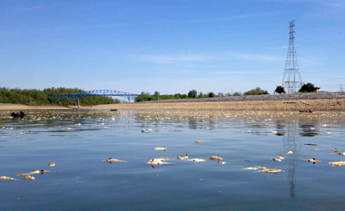 Asian carp dieoff below Barkley Dam